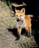 Red Fox cub, Mt Evans, CO, 6_14_2016_Jp3aa_18775.jpg