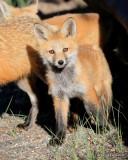 Red Fox cub, Mt Evans, CO, 6_14_2016_Jpa_18767.jpg