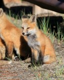 Red Fox cub, Mt Evans, CO, 6_14_2016_Jpaa_18806.jpg