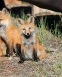 Red Fox cub, Mt Evans, CO, 6_14_2016_Jpaa_18810.jpg
