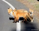 Red Fox family, Mt Evans, CO, 6_14_2016_Jp2aa_18775.jpg