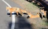 Red Fox family, Mt Evans, CO, 6_14_2016_Jpaa_18771.jpg
