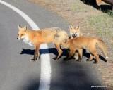 Red Fox family, Mt Evans, CO, 6_14_2016_Jpaa_18774.jpg