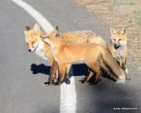 Red Fox family, Mt Evans, CO, 6_14_2016_Jpaa_18775.jpg