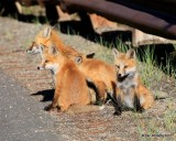 Red Fox family, Mt Evans, CO, 6_14_2016_Jpaa_18808.jpg