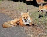 Red Fox family, Mt Evans, CO, 6_14_2016_Jpaa_18825.jpg