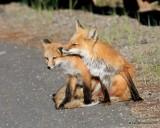 Red Fox family, Mt Evans, CO, 6_14_2016_Jpaa_18828.jpg