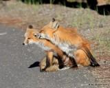 Red Fox family, Mt Evans, CO, 6_14_2016_Jpaa_18829.jpg