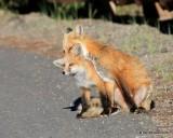 Red Fox family, Mt Evans, CO, 6_14_2016_Jpaa_18835.jpg