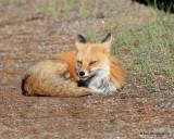 Red Fox, Mt Evans, CO, 6_14_2016_Jpa_18822.jpg