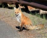Red Fox, Mt Evans, CO, 6_14_2016_Jpaa_18815.jpg