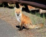 Red Fox, Mt Evans, CO, 6_14_2016_Jpaa_18818.jpg