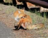 Red Fox, Mt Evans, CO, 6_14_2016_Jpaa_18819.jpg