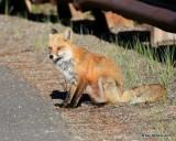 Red Fox, Mt Evans, CO, 6_14_2016_Jpaa_18820.jpg