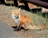 Red Fox, Mt Evans, CO, 6_14_2016_Jpaa_18821.jpg