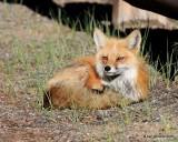 Red Fox, Mt Evans, CO, 6_14_2016_Jpaa_18840.jpg