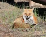 Red Fox, Mt Evans, CO, 6_14_2016_Jpaa_18845.jpg