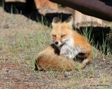 Red Fox, Mt Evans, CO, 6_14_2016_Jpaa_18846.jpg