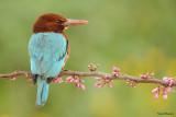 whitethroated_kingfisher