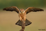 red_footed_falcon_