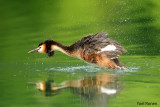 great_crested_grebe