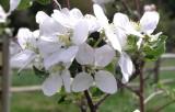 Apple blossoms P1010105.jpg