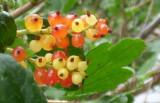 Berries P1030412.JPG