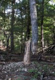 The beaver tree that wouldn't come down