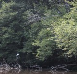 Egret and Great Blue Heron