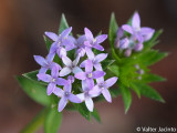 Granza; Granza-dos-campos // Blue Fieldmadder (Sherardia arvensis)