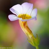 Lenifólio // Wildflower (Gratiola linifolia)