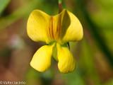 Agrião-roxo; Cizirão-de-um-ano // Annual Yellow Vetchling (Lathyrus annuus)