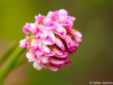 Dorycnopsis gerardii