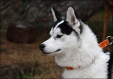 Sibirian Husky - Willow