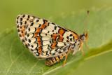 Caucasian Spotted Fritillary - Melitaea interrupta