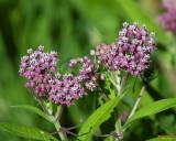 Swamp Milkweed, Rose Milkweed, Swamp Silkweed, or White Indian Hemp