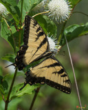 Eastern Tiger Swallowtail (Papilio glaucus) (DIN0253)
