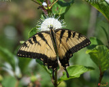 Eastern Tiger Swallowtail (Papilio glaucus) (DIN0254)