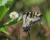 Eastern Tiger Swallowtail (Papilio glaucus) (DIN0255)