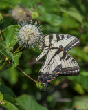 Eastern Tiger Swallowtails (Papilio glaucus) (DIN0256)