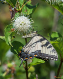 Eastern Tiger Swallowtail (Papilio glaucus) (DIN0257)