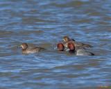 Redhead Ducks, Red-headed Ducks or Red-headed Pochards