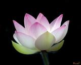 Lotus Beauties