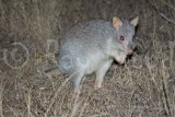 Mammals of Australia (Potoroos and Bettongs)