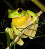 Frogs of Australia (Pelodryadidae)