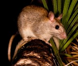 Mammals of Australia (Rodents)