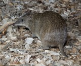 Mammals of Australia (Bandicoots and Bilbies)
