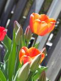 Royal Tulip
