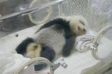 102 - Panda Reservate, Chengdu