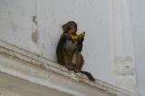 413 - Monkey eating Shiva's Bananas